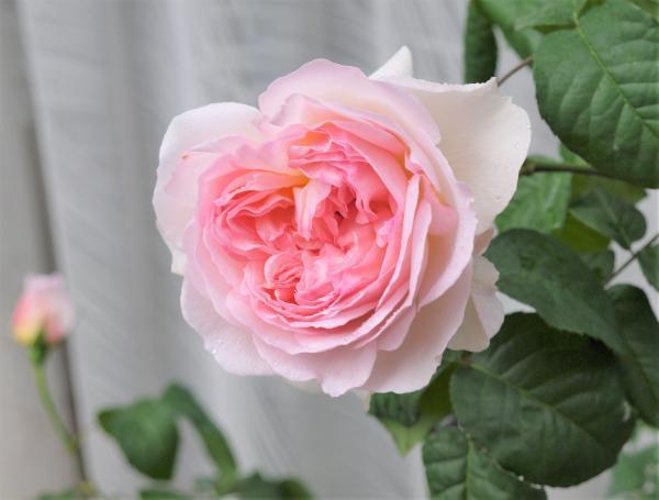シャリファ・アスマ開花20170515