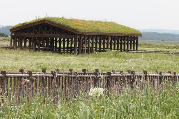 屋根の上にもスカシユリ