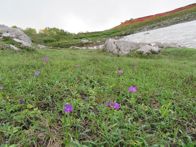 第二花園のエゾコザクラ