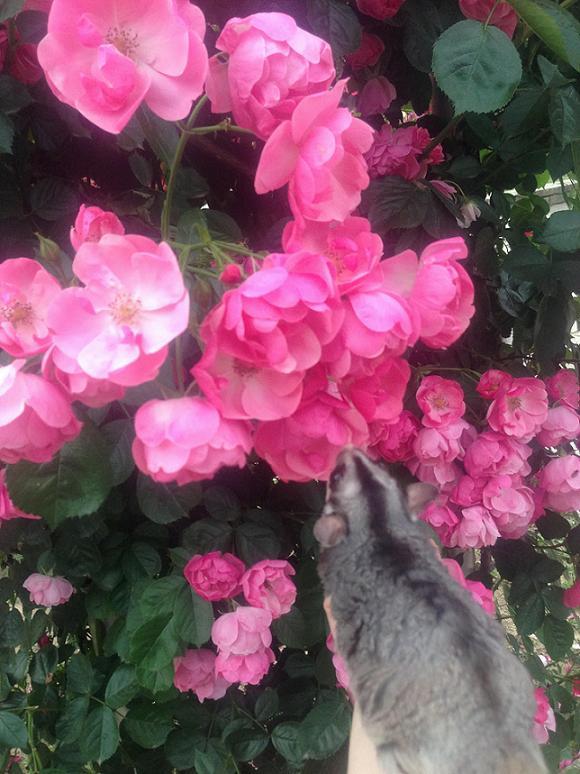 pinkバラ