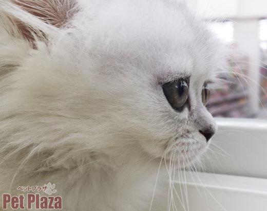 ペルシャ チンチラシルバー 大阪 泉南 りんくう 泉佐野 阪南 和歌山 白猫