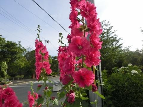 2017-06-12 散歩 012 (480x360)