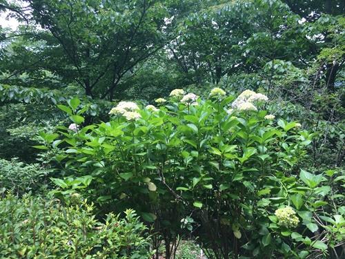 里山紫陽花8