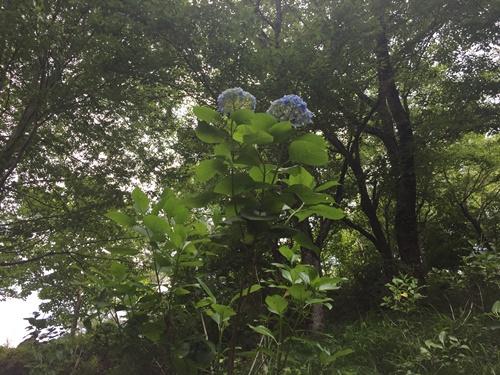 里山紫陽花13