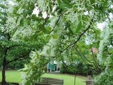 ブログ8ナンジャモンジャの木
