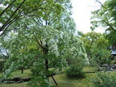 ブログ7ナンジャモンジャの木