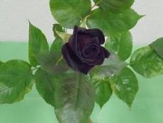 ブログ30黒バラ