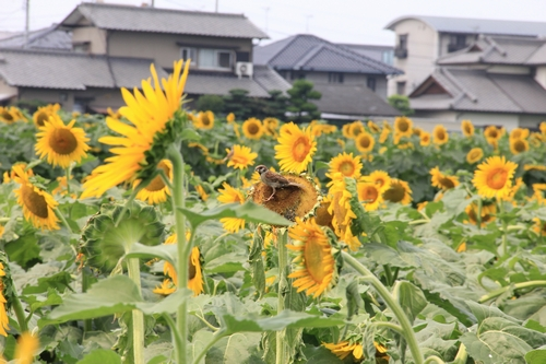 himawari170731-1854.jpg