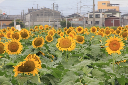 himawari170731-1856.jpg