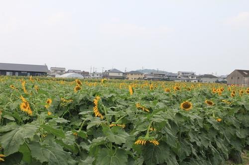 himawari170731-1905.jpg