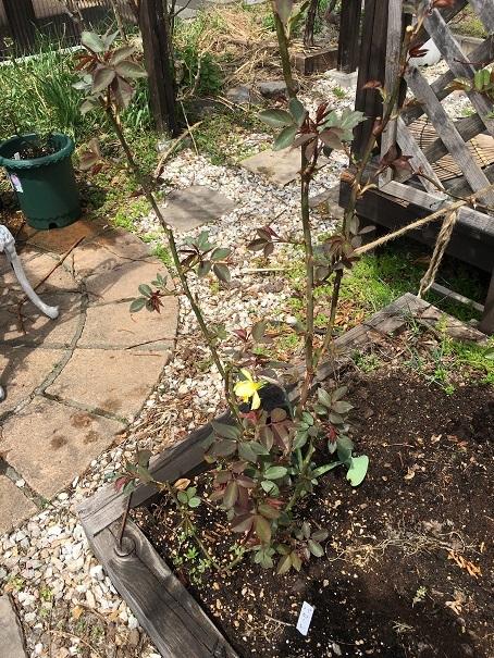 庭のバラの世話_2017050504