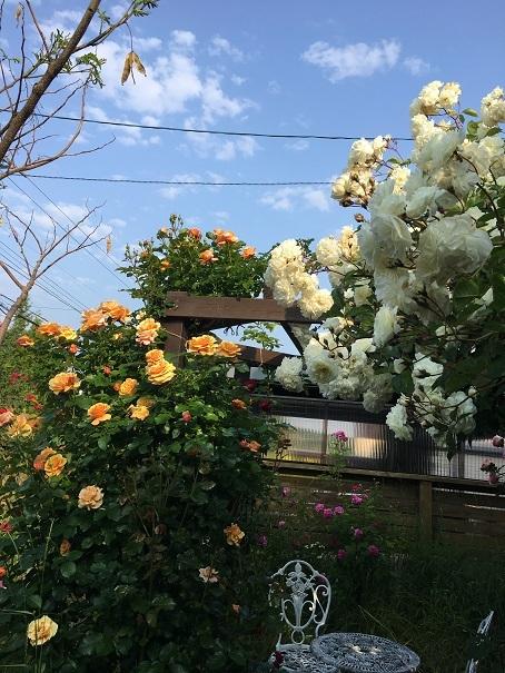 庭のバラ_2017070402
