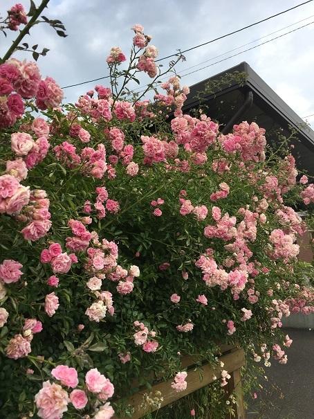 庭のバラ_2017072513