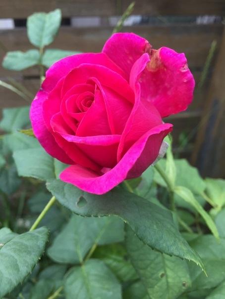 庭のバラ_2017072516