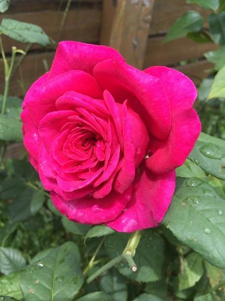 庭のバラ_2017072501