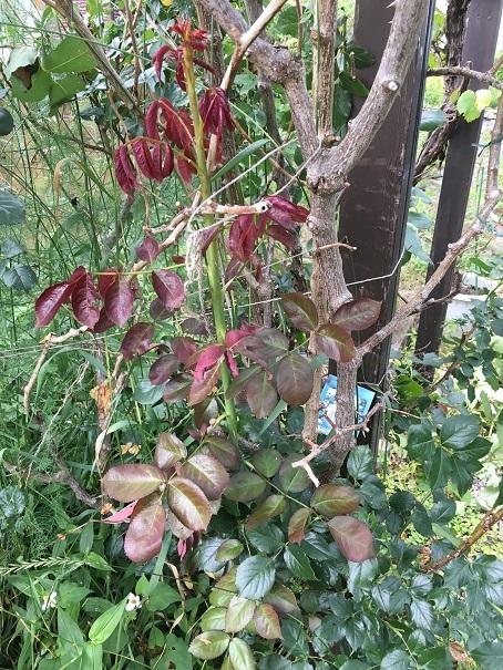 庭のバラ_2017072502