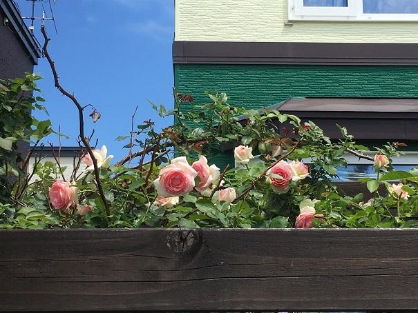 庭のバラ_2017072505