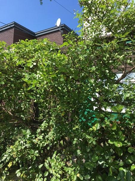 庭のバラ_2017072508