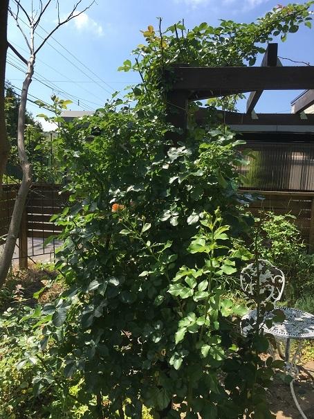 庭のバラ_2017072509