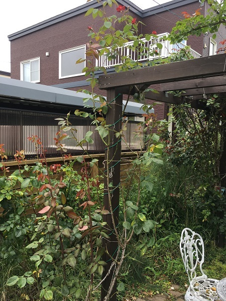 庭のバラ_2017082004