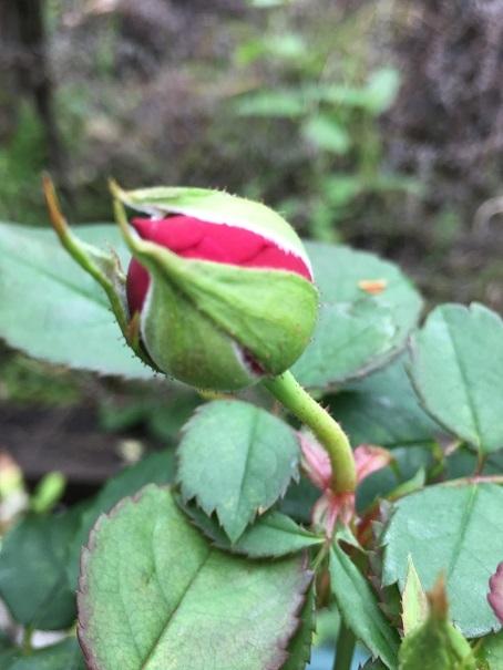 庭のバラ_2017082007