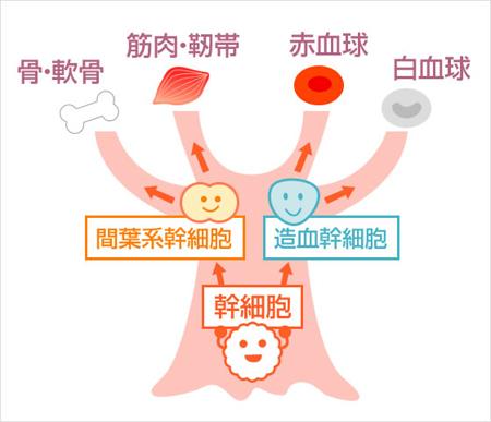幹細胞とは