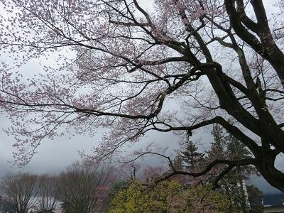 IMG_6563 安富桜