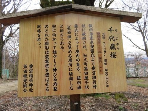 IMG_6655 千代蔵桜