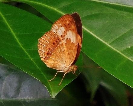 タイワンキマダラ