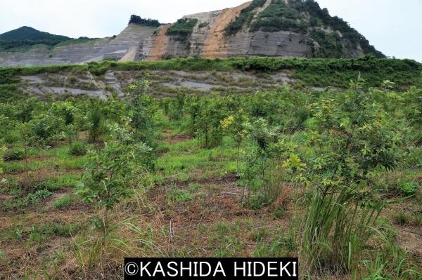 採石業者の植林