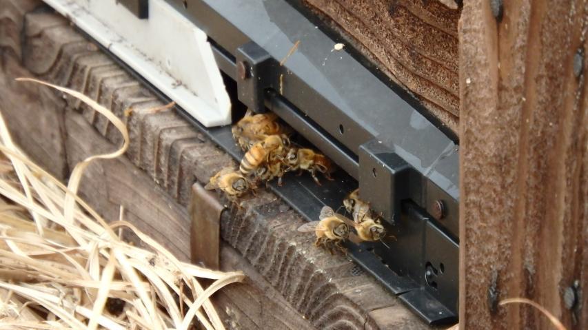セイヨウミツバチの飼育