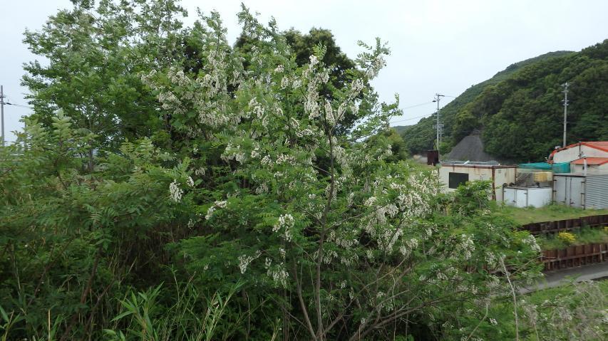 ハリエンジュの木