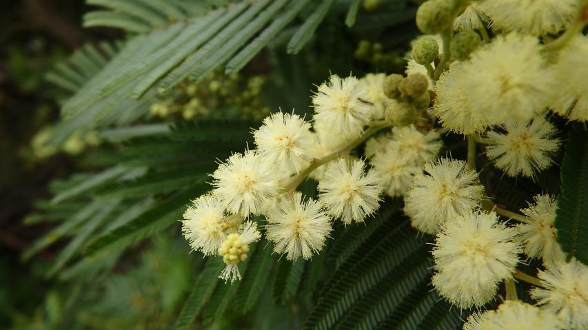 モリシマアカシアの花