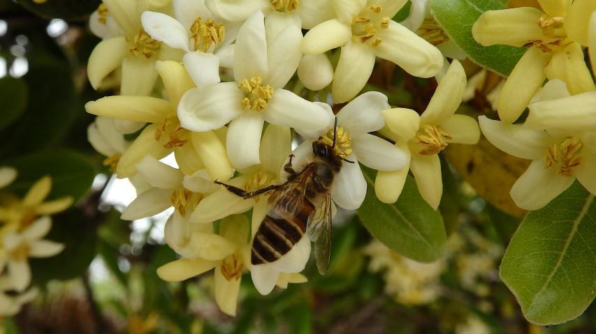 トベラに訪問したニホンミツバチ