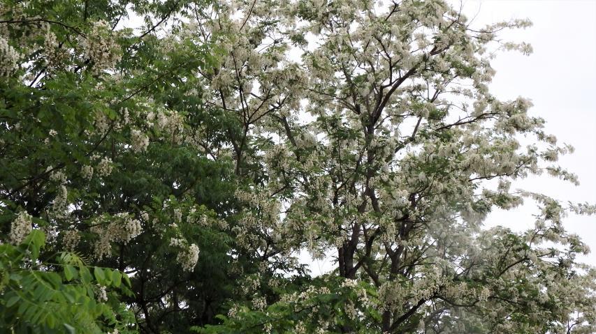 ハリエンジュの樹冠を埋め尽くす白い花