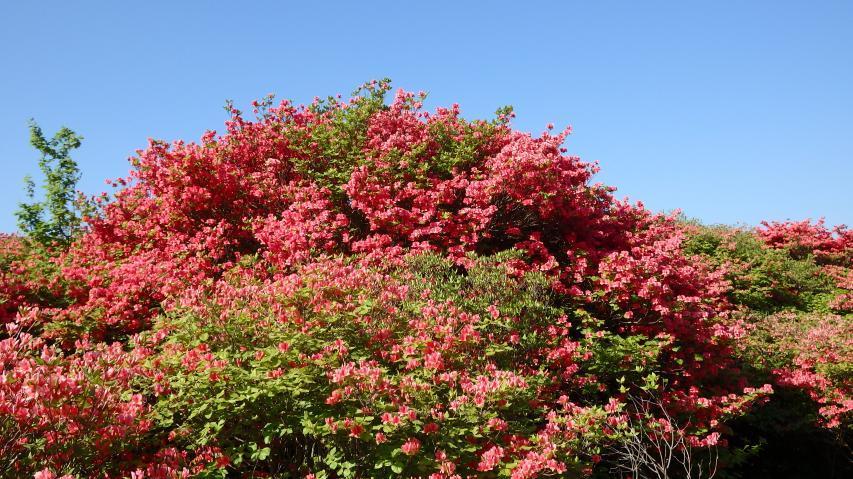 オンツツジは朱色の花