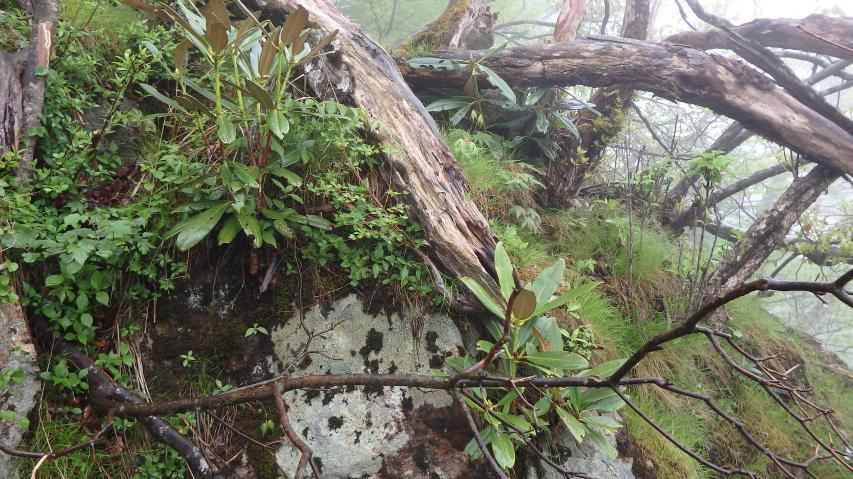 シャクナゲの若木
