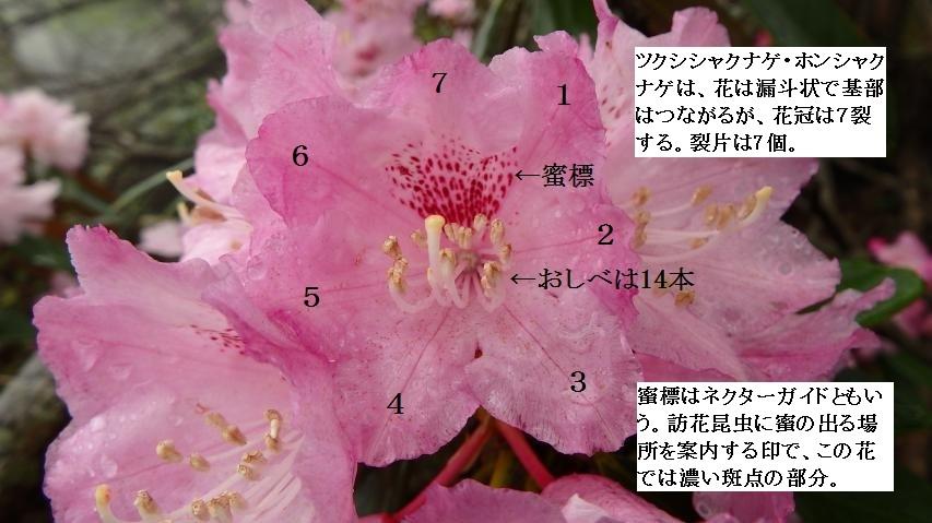 ツクシシャクナゲ(ホンシャクナゲ)の花