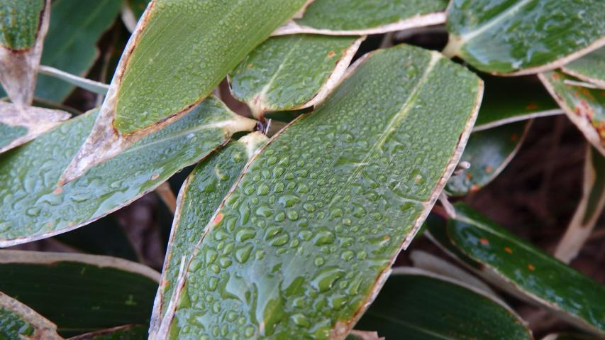 ミヤマクマザサの葉は夜露でしっとり