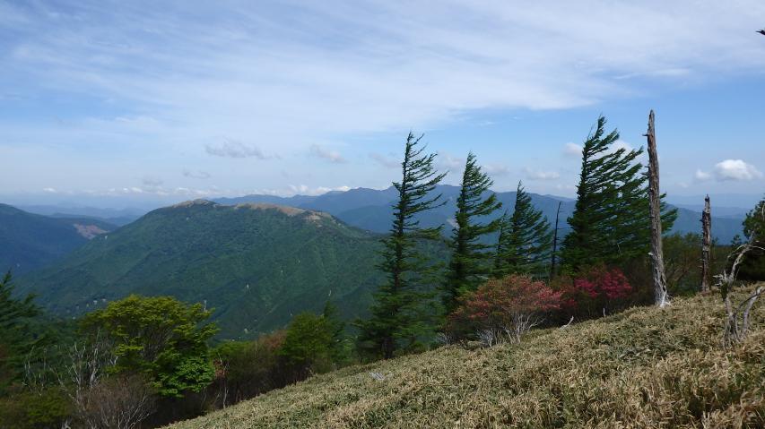 カラマツの見事な扁形樹