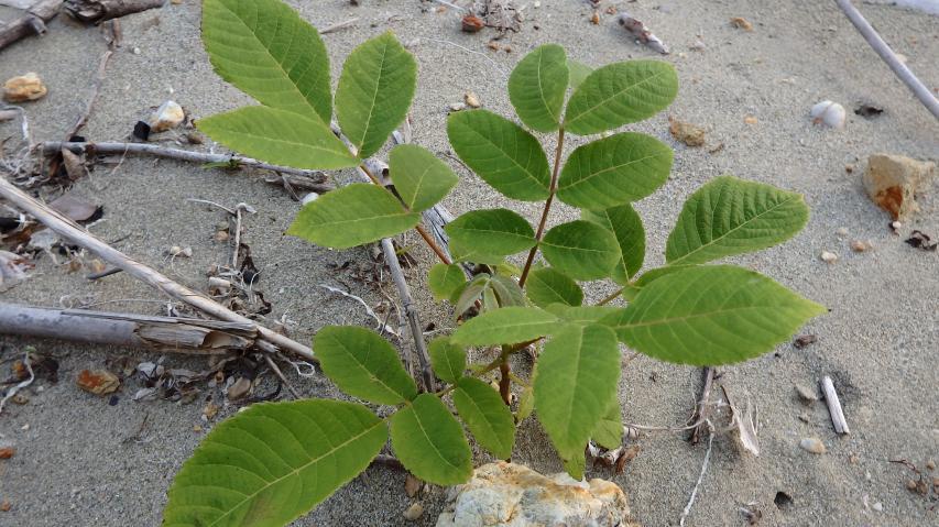 オニグルミの幼木