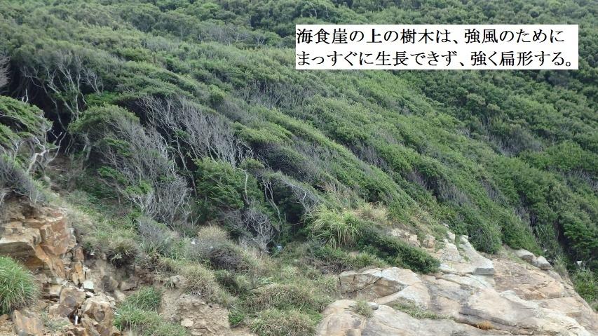 海食崖の上の樹木は強く扁形する