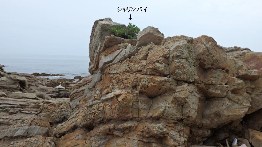 岩場で逞しく生きるシャリンバイ