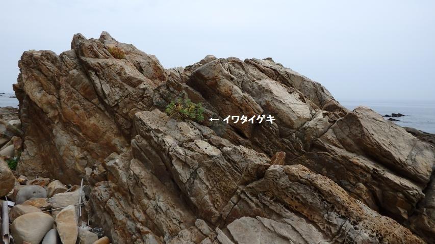 岩場で逞しく生きるイワタイゲキ