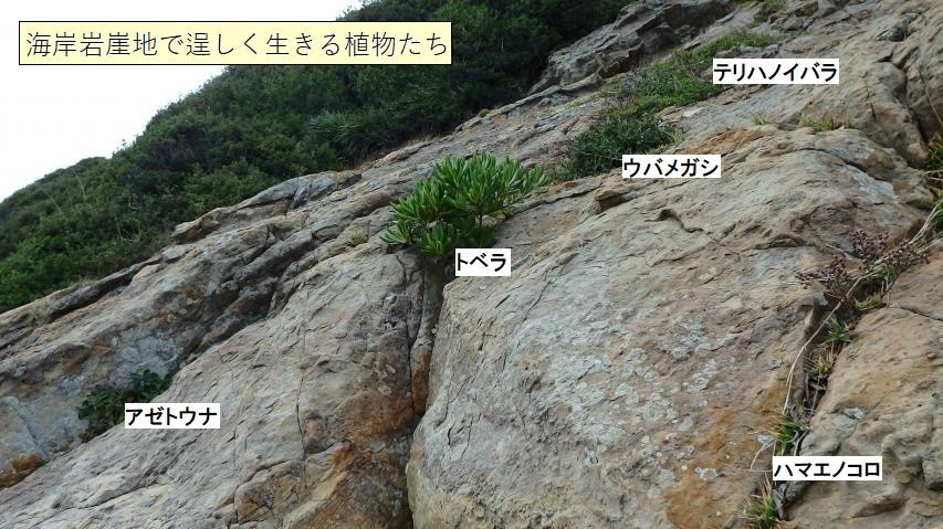 海岸岩崖地で逞しく生きる植物たち