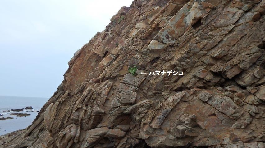 断崖に咲く孤高のハマナデシコ
