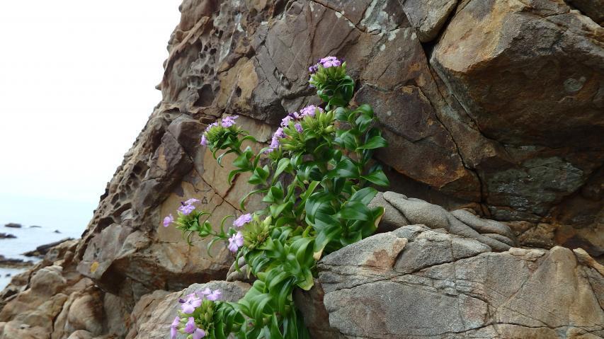 浜ナデシコじゃなく、岩ナデシコというべきか?