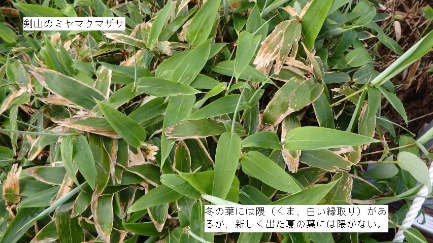 ミヤマクマザサは夏の葉に衣替え