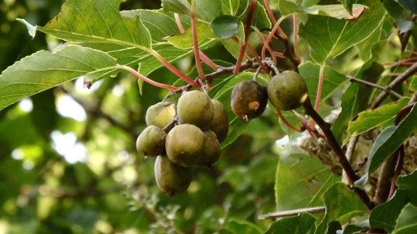 ウラジロマタタビの果実