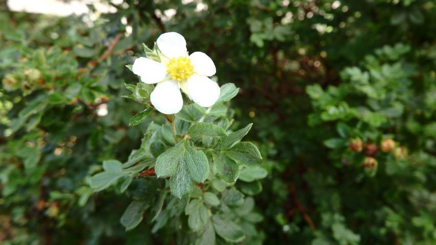 ギンロバイの花